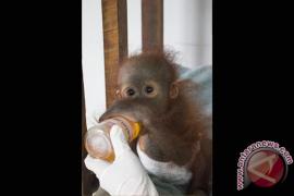 BKSD-Yiari Ketapang Lakukan Penyelamatan Bayi Orangutan