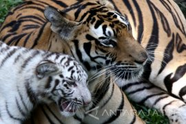 TNMB Pasang Puluhan Video Trap Untuk Pastikan Jejak Harimau Jawa