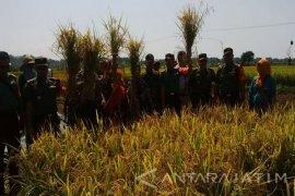 Tim Sergab Mabes TNI Panen Padi di Pamekasan