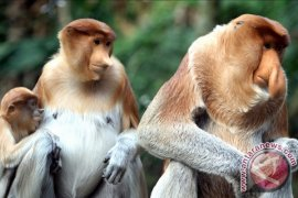 On Bekantan Day, SBI invites people to care about probiscis monkey