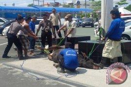 Sapi Kurban Ngamuk Di Polresta Banjarmasin
