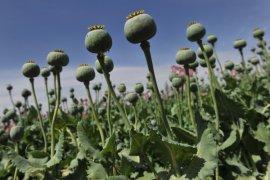 Panen Opium Di Afghanistan, Taliban Untung?