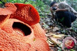 Rafflesia Arnoldii Mekar di Bukit Barisan Bengkulu