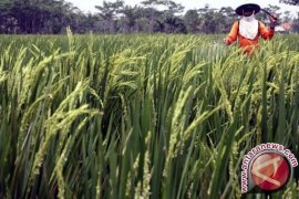 Ulat Grayak Serang Ribuan Hektare Padi Karawang