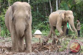 Pemerintah atasi  gajah liar