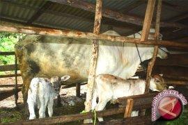 385 ekor sapi ditargetkan program kawin suntik