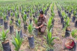Petani Penajam Tidak Berminat Remajakan Kebun Sawit