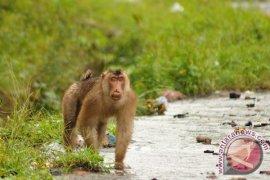Gawat, monyet liar serang manusia dan rusak rumah warga di Medan
