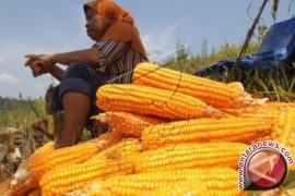 Produksi Jagung Sumut Ditargetkan 1,9 Juta Ton