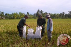 Swasembada Beras Papua Barat Ditarget Terwujud 2017