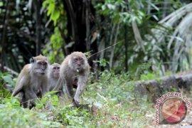 Gerombolan monyet di Jalinsum jadi objek wisata baru di Mukomuko