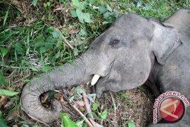 Habitat gajah Sumatera terus susut, konflik dengan manusia sering