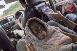Evakuasi Bayi Orangutan