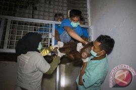 Pelepasanliar Tiga Orangutan di TNGP