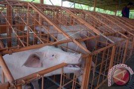 Daging Babi Tetap Dikonsumsi Saat Galungan