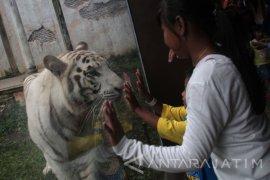 Harimau Langka di Batu Secret Zoo