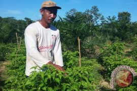 Tanah Bumbu Kembangkan Tanaman Cabai
