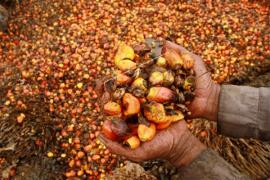 Pemkab Sintang bentuk forum koordinasi kelapa sawit berkelanjutan