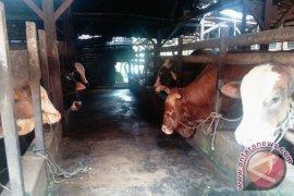Jambi targetkan 26.000 induk sapi kawin suntik