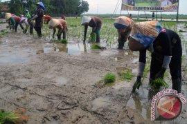 Realisasi tanam padi di Karawang melampaui target