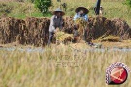 Harga gabah tingkat petani di Bali naik