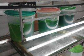 Mahasiswa IPB Ganti Minyak Babi Pada 'Kosmetik' Dengan 'Minyak Mikroalga'