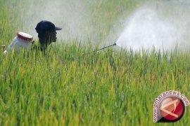 Ribuan hektare tanaman padi di Abdya diserang hama wereng