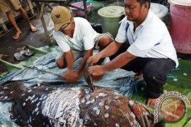 Nelayan Halmahera Tangkap Raksasa Ikan