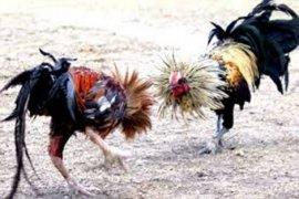 Arena Sabung Ayam Kampung Cijambe Digerebek