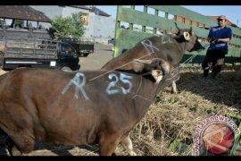Pengiriman ratusan sapi bali sempat diduga ilegal