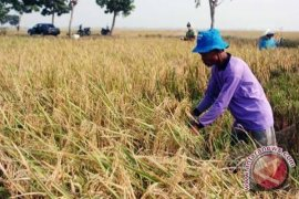 Produksi padi di Kalbar 1,6 juta ton