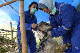 Petugas Periksa Antemortem Untuk Pastikan Hewan Kurban Sehat