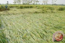 Petani Banjar Kalsel Segera Panen Padi Roboh