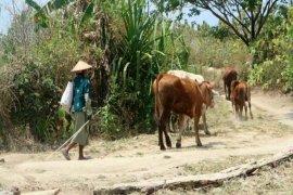 Dinsnak Bojonegoro Tidak Temukan Penyakit Berbahaya pada Kurban