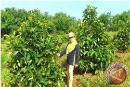 Purwakarta siapkan 5 ha lahan untuk kawasan kebun manggis