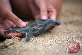 Peneliti IPB Ciptakan Wisata Pantai Berbasis Konservasi Penyu Hijau