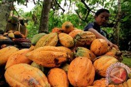 Hama pengerek batang turunkan produktivitas kakao di  Aceh Utara