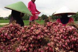 Empat kecamatan jadi lokasi pengembangan tanaman bawang