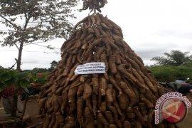Pangaribuan Jadikan Ubi Kayu Ikon Perayaan HUT Taput