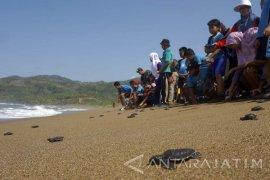 Ratusan Warga-Pelajar Lepas 1.000 Tukik di Pantai Kili-kili