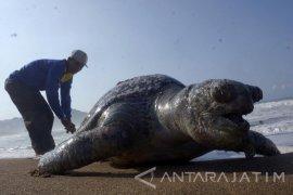 Terjerat 110 Pancing, Penyu Langka Ditemukan Mati di Pantai Trenggalek
