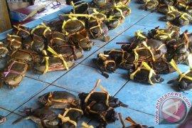 Pengiriman kepiting bakau Jambi meningkat
