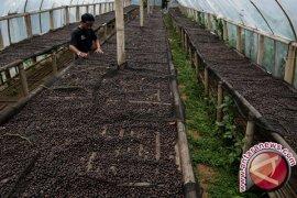 Peneliti IPB Kaji Dampak Perubahan Iklim terhadap Produktivitas Tanaman Kopi