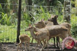 Polisi tangkap pelaku pemburu rusa di Pulau Komodo