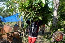 Bupati Karangasem Meninjau Penampungan Sapi Pengungsi