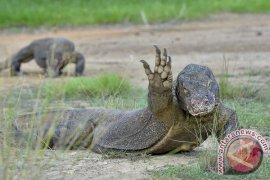 Wisatawan Mancanegara Hanya Ingin Lihat Komodo
