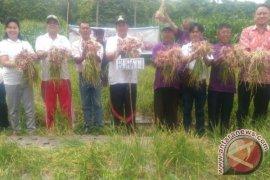 Bupati Samosir dan Petani Panen Bawang Merah