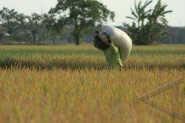 Lima kecamatan di Bengkulu ini rentan rawan pangan