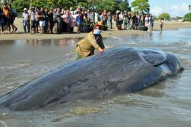 Ikan paus ditemukan warga terjebak dan mati di Raja Ampat