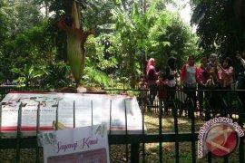 Hore...Bunga Bangkai Dalam Pot Pertama Berhasil Mekar (Video)
